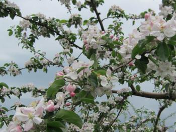 りんごの花