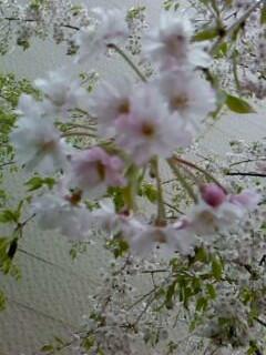 今年も咲きました